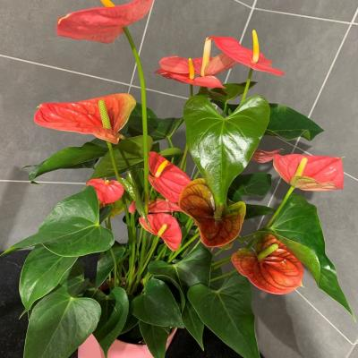 Anthurium avec pot 35€